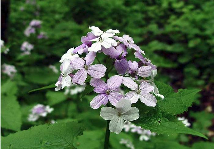 18.05.2019 - Za kvetoucí měsíčnicí - Kamenický Šenov