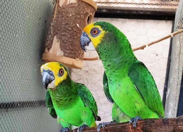 Ptačí rarita na EXOTĚ Olomouc 2018: poprvé na světě vystaví africké vysokohorské papoušky žlutočelé