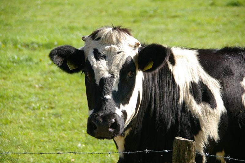 Ministerstvo zemědělství podpoří v roce 2020 dotacemi především zlepšení podmínek v chovech hospodářských zvířat