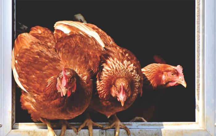 Hejtman Štěpán vyzývá chovatele ke zvýšené pozornosti kvůli výskytu ptačí chřipky na Pardubicku