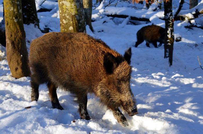 Divoká prasata ve městě? Městská rada navýšila motivační zástřelné pro myslivce