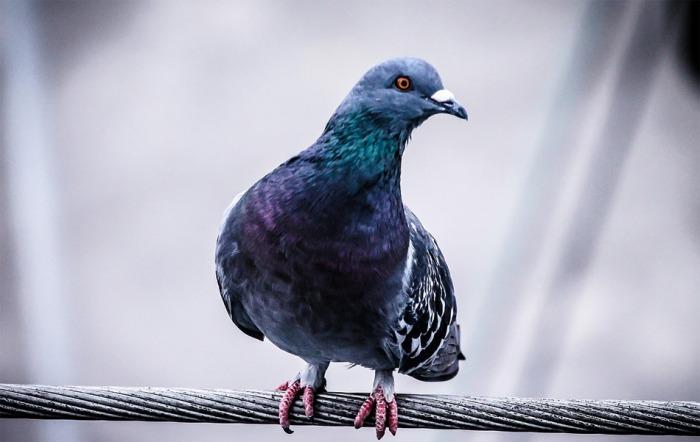 V České republice byla po čtyřech letech zjištěna paramyxoviróza v chovu holubů