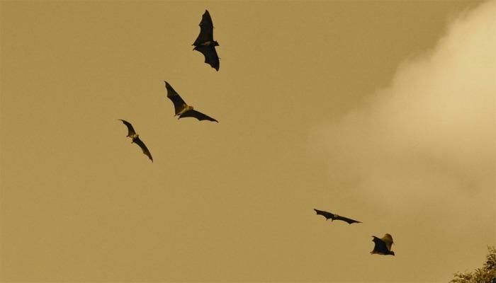 Záchranné stanice už zasahovaly u více než 1100 zbloudilých netopýrů