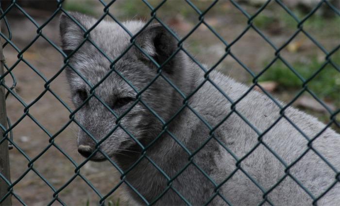 Polsko zakázalo kožešinové farmy, příště zakáže i klece