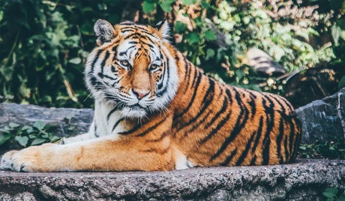 Česko v centru nelegálního obchodu s tygry