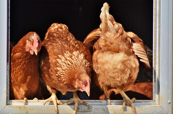 Ve velkochovu nosnic v Polsku je ptačí chřipka, Státní veterinární správa  tomu přizpůsobí své kontroly