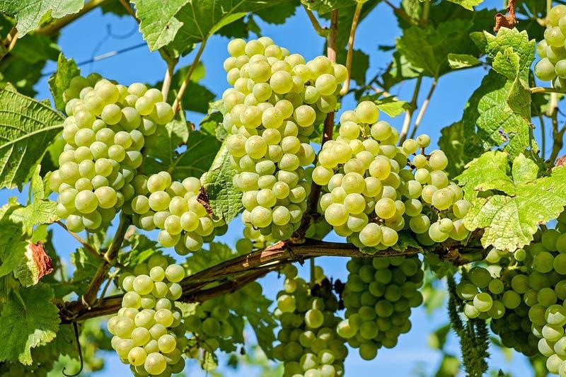 Plocha vinic se rozšířila, počet pěstitelů se snížil o 9%