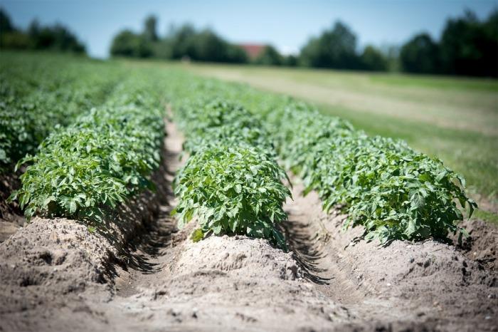 Státní zemědělský intervenční fond začal vyplácet dotace na na bílkovinné plodiny, brambory a chmel