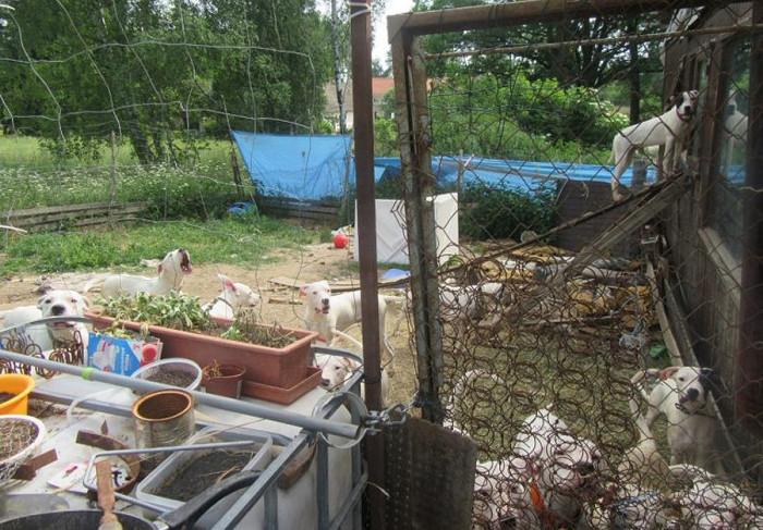 Chovatelce z Jindřichohradecka bylo odebráno 21 argentinských dog kvůli podezření z týrání zvířat