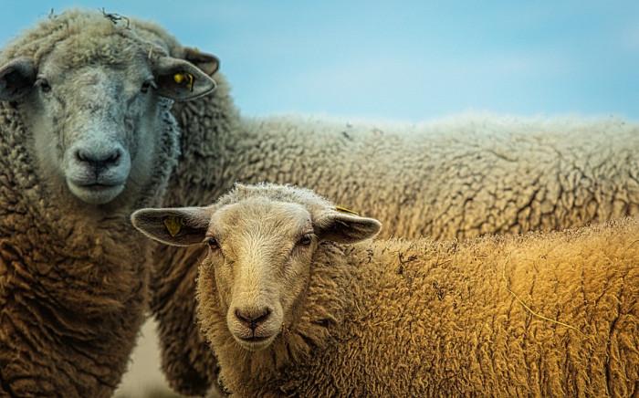Stáda ovcí, koz a skotu se opět pasou v nejcennějších přírodních oblastech Prahy