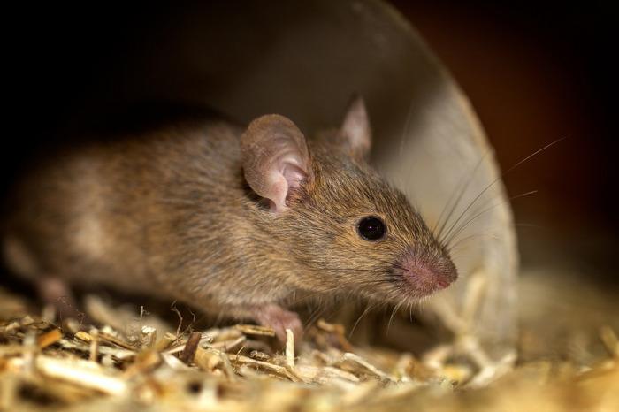 Zoologové přinesli nový pohled na vir, který přenášejí i hlodavci v Česku