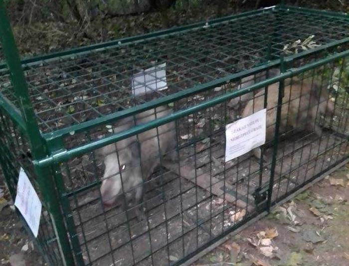 Ústečany ohrožují přemnožená divoká prasata, město rozhodlo o instalaci odchytových klecí