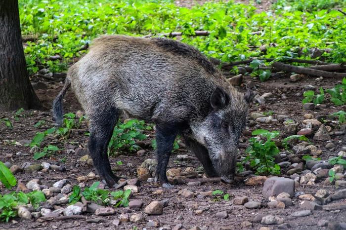 Liberecký kraj a veterináři žádají občany, aby omezili cesty do lesů a hlásili mrtvé divočáky. Kvůli moru